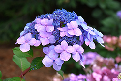Twist-n-Shout® Hydrangea (Hydrangea macrophylla 'PIIHM-I') at Weston Nurseries