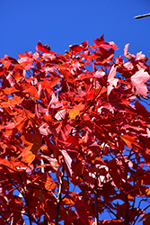 October Glory Red Maple (Acer rubrum 'October Glory') at Weston Nurseries