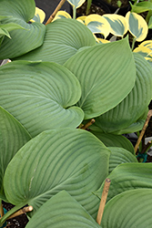 Empress Wu Hosta (Hosta 'Empress Wu') at Weston Nurseries