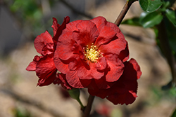 Double Take Scarlet™ Flowering Quince (Chaenomeles speciosa 'Double Take Scarlet Storm') at Weston Nurseries