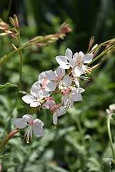 Whirling Butterflies Gaura (Gaura lindheimeri 'Whirling Butterflies') at Weston Nurseries