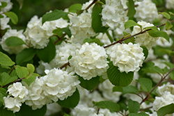 Popcorn Doublefile Viburnum (Viburnum plicatum 'Popcorn') at Weston Nurseries