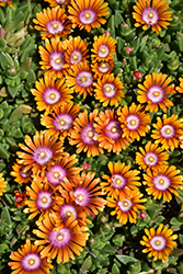 Fire Spinner Ice Plant (Delosperma 'Fire Spinner') at Weston Nurseries