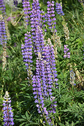Wild Lupine (Lupinus perennis) at Weston Nurseries