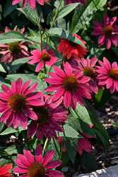 Sombrero® Tres Amigos Coneflower (Echinacea 'Balsomtresgo') at Weston Nurseries