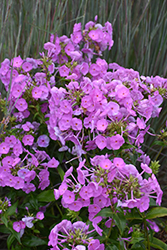 Fashionably Early Flamingo Garden Phlox (Phlox 'Fashionably Early Flamingo') at Weston Nurseries
