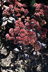 Touchdown Teak Stonecrop (Sedum 'Touchdown Teak') at Weston Nurseries